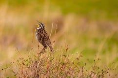 Meadowlark Sits occidental en el canto de la hierba de pradera fotografía de archivo libre de regalías