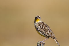 Meadowlark, Sturnella immagini stock libere da diritti