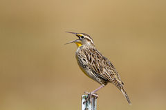 Meadowlark, Sturnella Royalty Free Stock Photo