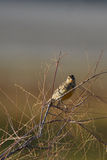 Meadowlark, Sturnella Stockfotos