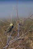 Meadowlark, Sturnella Stockfoto