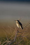 Meadowlark, Sturnella Stockfotografie