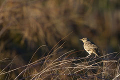 Meadowlark, Sturnella Royalty Free Stock Photography