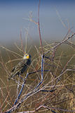 Meadowlark, Sturnella Stock Photo