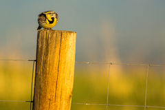 Meadowlark In Sunlight royalty-vrije stock afbeeldingen