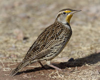 Meadowlark at White Water in Arizona Stock Photo
