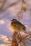 Meadowlark in Winter Stock Images