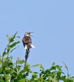meadowlark wschodni Zdjęcia Royalty Free