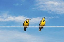 Meadowlarks on a Wire Royalty Free Stock Photo
