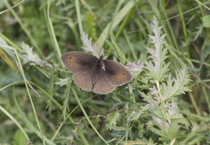 Meadown brown butterfly royalty free stock images