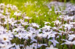 Meadows close-up with White Star Flowers. Meadow close-up with White Star Flowers at the Spring Festival - Floriade in Canberra in Australian Capital Territory stock image