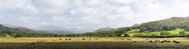 Meadows and cows in Lake District England. Rural scene in english lake district in panorama format Royalty Free Stock Photo