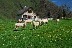 Meadows and cows of Soule in spring time Stock Photo