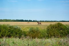 Meadows, fields and woods of central Russia. South Tyumen region. Rider on a horse. Summer. Sunny day stock photos