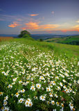 Meadows flowers Royalty Free Stock Images