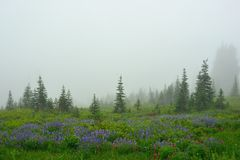 Meadows with flowers on a foggy day in Mount Rainier Stock Photography