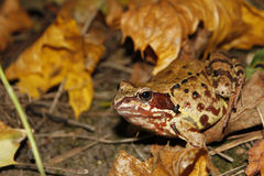 Meadows frog in the woods in autumn (I) Stock Photo