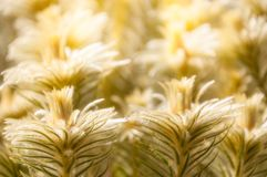 Meadows of glowing golden grasses. At the Spring Festival -Mount Tomah Botanic Garden, Blue Mountains, NSW, Australia Royalty Free Stock Photos