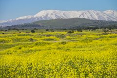 Meadows in golan Heights and hermon mount on the backgound. Meadows in Golan Heights with hermon mount on the backgound, Early Spring israel stock image