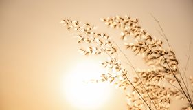 Meadows. Grass flowers with beautiful warm sunshine ,Meadows with Fair Light From the Sun stock images