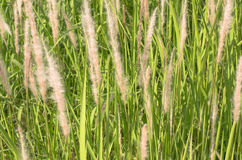 Meadows grass swaying with the wind that may blur for background Royalty Free Stock Photo