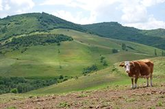 Meadows, hills and a posing cow Stock Photography