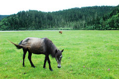 Meadows with horse Royalty Free Stock Image