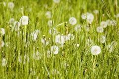 meadows mleczy roślin Obraz Royalty Free