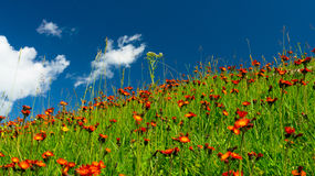 Meadows in orange flowers and a green grass Royalty Free Stock Photography