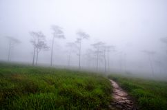 Meadows and pine forests in the rainy season are covered with fog. stock image