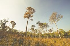 Meadows and pine forests. Summer Meadows and pine forests Royalty Free Stock Photography
