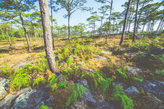 Meadows and pine forests Royalty Free Stock Photo