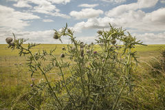Meadows - Salisbury plain/the thistle plant. Royalty Free Stock Photography