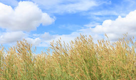 Meadows and sky. Meadows can be found online in Rural of Thailand Royalty Free Stock Photography