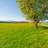 Meadows. Solitary Flowering Tree Surrounded by Sloping Meadows in Switzerland on the Background of Snow-capped Alps Stock Photography