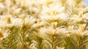 Meadows of sunlit golden plants. At the Spring Festival -Mount Tomah Botanic Garden, Blue Mountains, NSW, Australia Stock Photo
