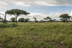 Meadows of Tanzania. With acacias on a cloudy day Royalty Free Stock Image