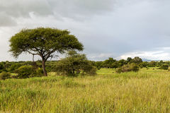 Meadows of Tanzania. With acacias on a cloudy day royalty free stock photography