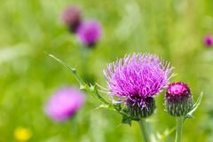 Meadows and thistle flowers in early summer Stock Images