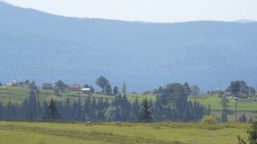 Meadows and cow in the middle of the mountains. Meadows and woods in the middle of the mountains hills stock footage