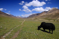 Meadows and Yak Stock Image