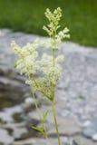 Meadowsweet或蜂蜜酒麦芽酒, Filipendula ulmaria,在小池塘附近开花有bokeh背景,特写镜头,选择聚焦 库存照片