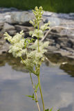 Meadowsweet或蜂蜜酒麦芽酒, Filipendula ulmaria,在小池塘附近开花有bokeh背景,特写镜头 图库摄影
