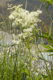 Meadowsweet或蜂蜜酒麦芽酒, Filipendula ulmaria,在小池塘附近开花有bokeh背景,特写镜头 免版税库存图片