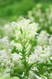 Meadowsweet Royalty-vrije Stock Foto