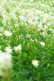 Meadowsweet. Field of white summer wildflowers Royalty Free Stock Photos