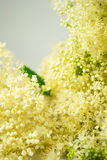 Meadowsweet bouquet Stock Photography
