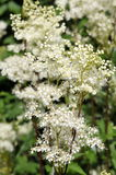 Meadowsweet Royalty Free Stock Photography