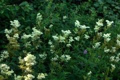 Meadowsweet. Field flower. The meadowsweet flower growing on a summer meadow Royalty Free Stock Image