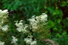 Meadowsweet. Field flower. The meadowsweet flower growing on a summer meadow Stock Images